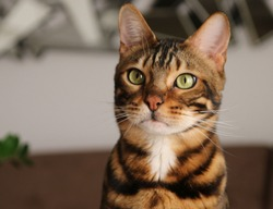 Portrait of a bengal  cat, cat looking at camera. close up