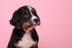 Portrait of a bernese mountain dog puppy looking up on a pink background
