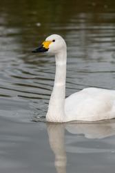 Portrait of a Bewicks swan (cygnus columbianus) swimming in the water