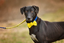 Portrait of a big black dog on a leash with a yellow ribbon, a bow tie on his neck