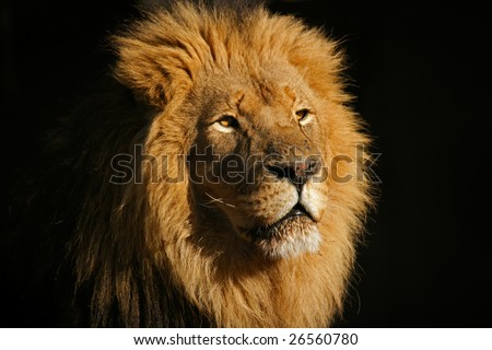 Portrait of a big male African lion (Panthera leo), against a black background