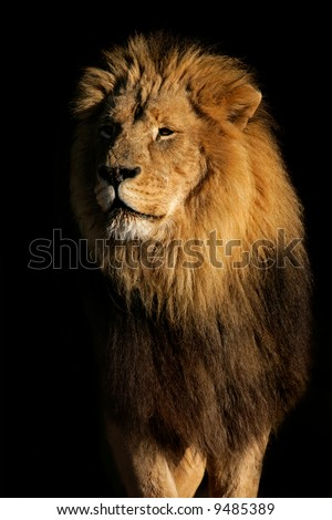 Portrait of a big male African lion (Panthera leo), against a black background, South Africa - stock photo