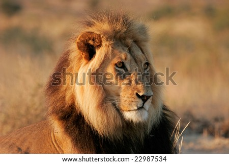 Portrait of a big male African lion (Panthera leo), Kalahari desert, South Africa - stock photo