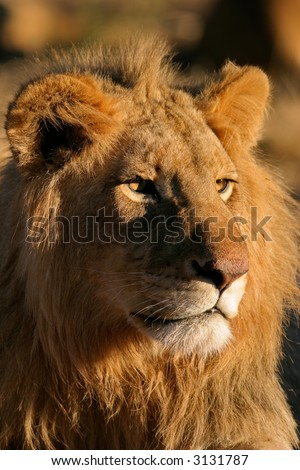 Portrait of a big male lion (Panthera leo), Kalahari, South Africa