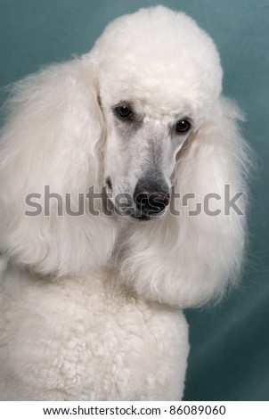 Portrait of a big size white poodle - stock photo
