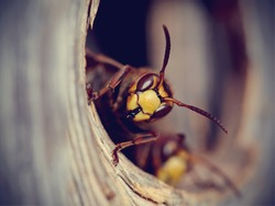 Portrait of a big wasp - a hornet protects an entrance to a nest.