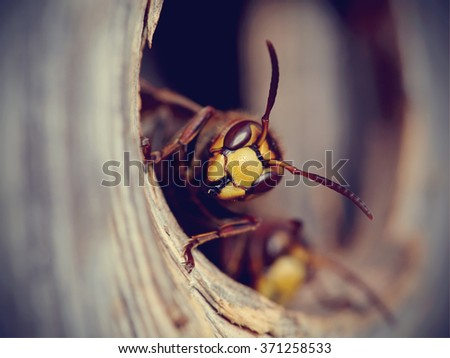 portrait of a big wasp   a...