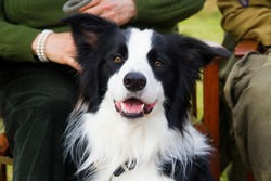 portrait of a black and white boarder collie dog