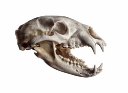 Portrait of a Black Bear Skull