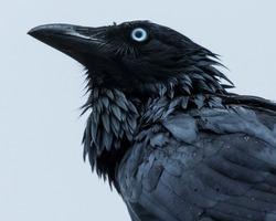 Portrait of a black crow