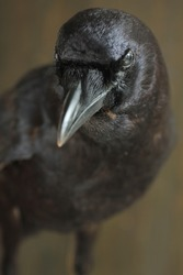 Portrait of a black crow standing on a rock