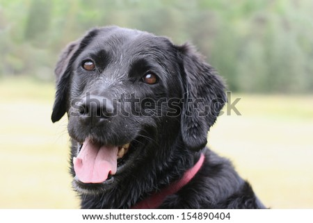 Portrait of a black dog with tongue panting looking at the camera