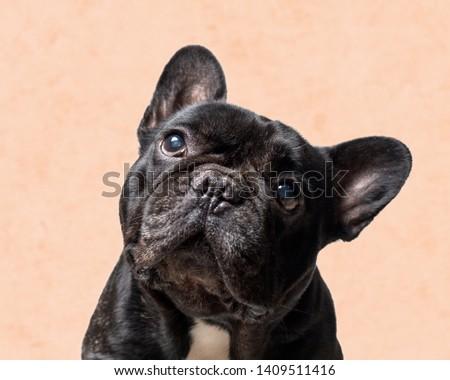 portrait of a black french bulldog on orange background . purebred dog . #1409511416