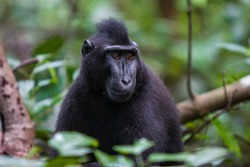 Portrait of a black macaque male close-up, photographed in the Tangkoko National Park, Sulawesi island.