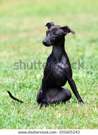 portrait of a black puppy purebred italian greyhound