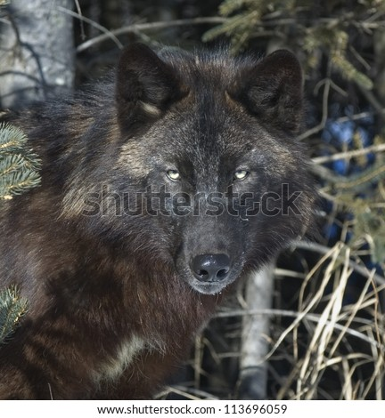 Portrait of a black timber wolf