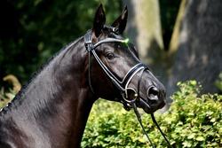 Portrait of a black Trakehner stallion