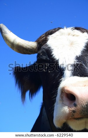 Portrait of a black-white cow