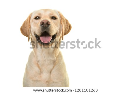 Photo of  Portrait of a blond labrador retriever dog looking at the camera with a big happy smile isolated on a white background