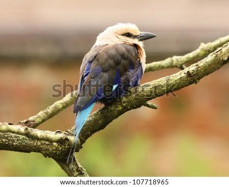 Portrait of a Blue Winged Kookaburra