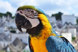 Portrait of a Blue Yellow Macaw Parrot (Ara ararauna)