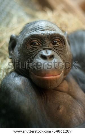 Portrait of a  Bonobo monkey (Pan paniscus)