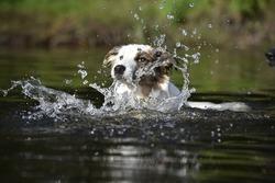 Portrait of a Border Collie purebred dog swimming in a river