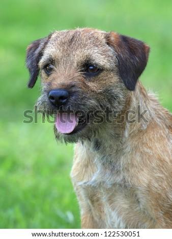 Portrait of a border terrier