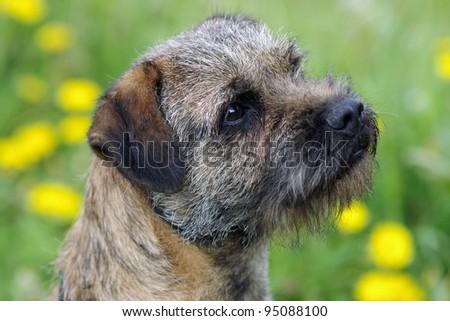 Portrait of a border terrier #95088100