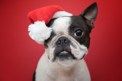 Portrait of a Boston Terrier dog in a new year's red Santa Claus hat on a red background in the Studio.  Creative. The concept of Christmas and holidays.