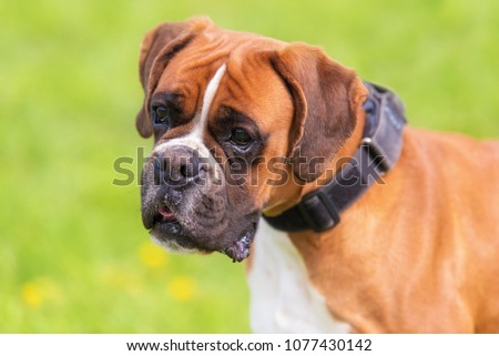 Portrait of a Boxer dog in the park