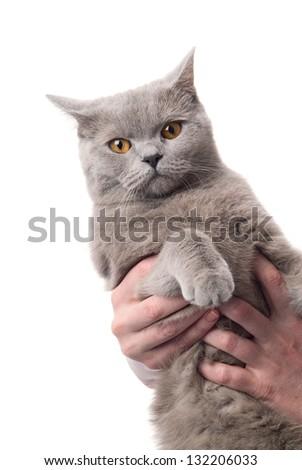 Portrait of a british cat on white background. studio shot
