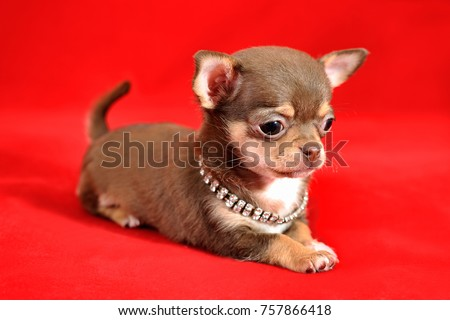 Portrait of a brown and tan short-haired Chihuahua puppy on a red background #757866418