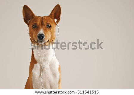 Portrait of a brown and white basenji dog wearing white earbuds looking into the camera isolated on white #511541515