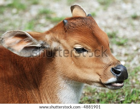 Brown baby cows - photo#13