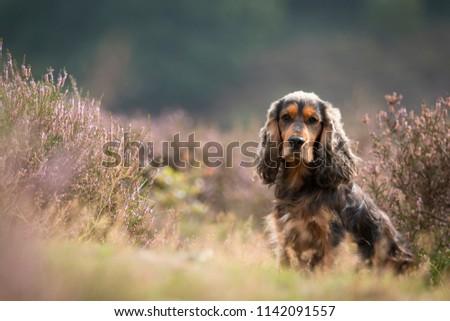Portrait of a brown cocker spaniel in a field of purple heather #1142091557