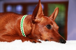 Portrait of a brown dog lying on a white blanket. Pet muzzle, ears and eyes, paw. The animal is resting. The view from the side. Cute miniature Pinscher. A purebred puppy.