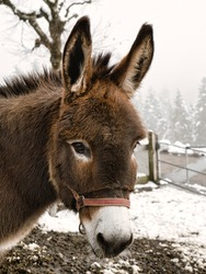 Portrait of a brown donkey
