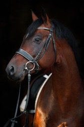 portrait of a brown horse in ammunition on a black background