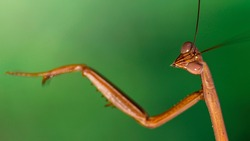 portrait of a brown praying mantis on a green background, long antennas and big faceted eyes, this gracious insect is a dreadful predator for the small ones. somewhere in the Thai tropical jungle.