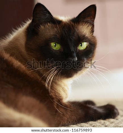 Portrait of a brown Siamese cat with green eyes, largely