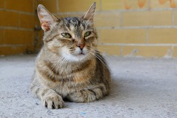 portrait of a brown stray cat lying on concrete