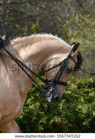 Portrait of a buckskin sport horse dressage.   #1067341262