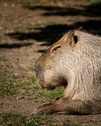 Portrait of a capivara sleeping in a zoo, sunny day in spring