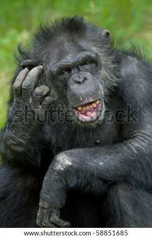 Portrait of a captive chimpanzee (Pan trodglodytes) scratching its head