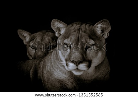 Portrait of a captive Cougar also known as Puma or panther in a Zoo in South Africa