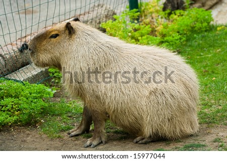 Portrait of a capybara in grass behind a fence