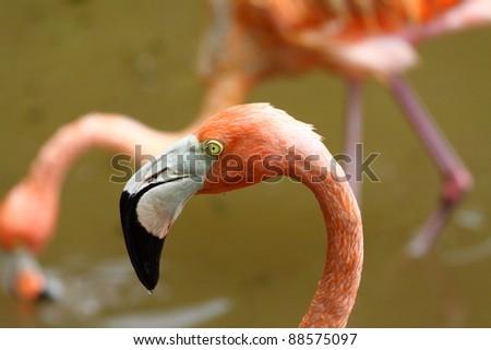 Portrait of a Caribbean Flamingo