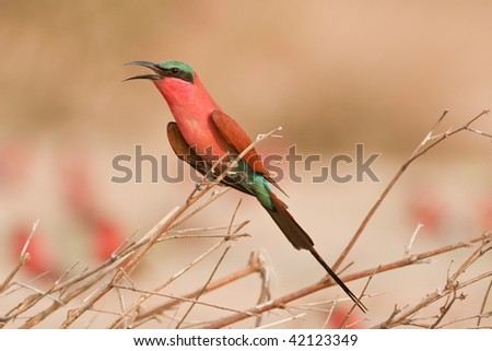 Portrait of a carmine bee-eater.