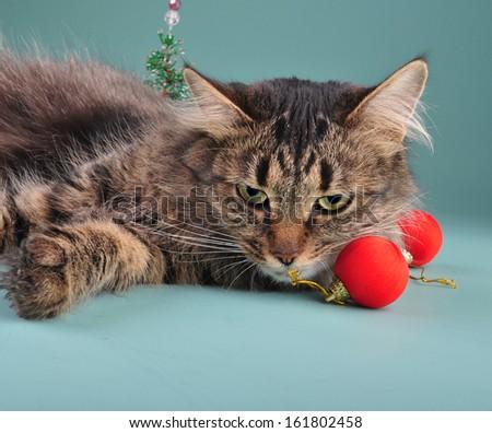 Portrait of a cat  among Christmas stuff . Studio shot.